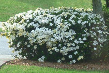 S di siepe e sempreverdi piante da vaso e per piccoli for Piante da esterno in vaso perenni