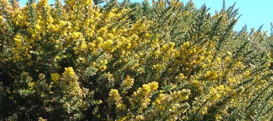 U di ulex europaeus o ginestre spinose arbusto - L arte dei giardinieri di potare in forme bizzarre ...
