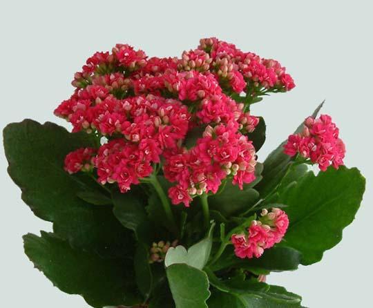 Piante Fiorite Tutto L Anno : K di kalanchoe blossfeldiana e calandiva come