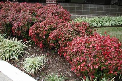 Nandina nana 'Fire Power'