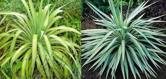 Y di yucca le cultivar pi rustiche piante esotiche da for Piante grasse da giardino resistenti al freddo