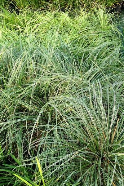 Piante autunnali da giardino sempreverdi e piante con bacche for Piante verdi da giardino