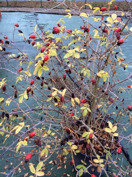 bacche e piante autunnali_00028