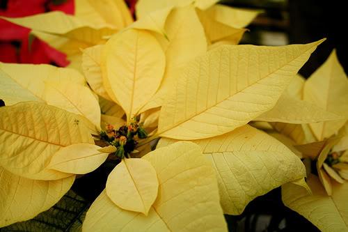 Stella Di Natale Foglie Gialle.Stella Di Natale Poinsettia Euphorbia Pulcherrima Nuove Cultivar