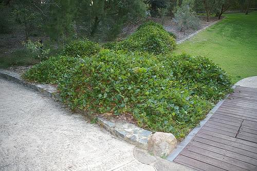 K di kennedia nigricans pianta fiorita sempreverde for Pianta rampicante sempreverde