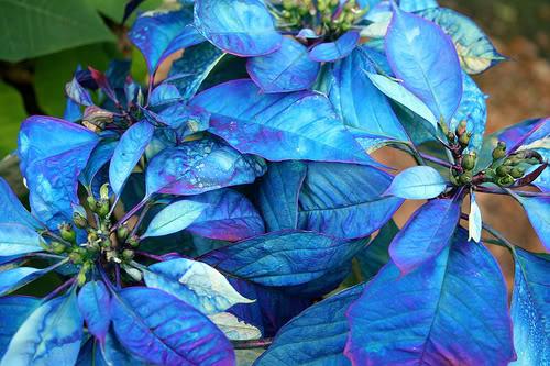 Stella Di Natale Cura E Manutenzione.Stella Di Natale Poinsettia Euphorbia Pulcherrima Nuove Cultivar