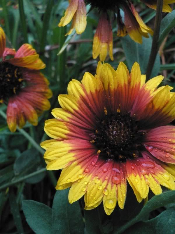 Inno lode delle erbacee perenni piante perenni da for Piantine fiorite perenni