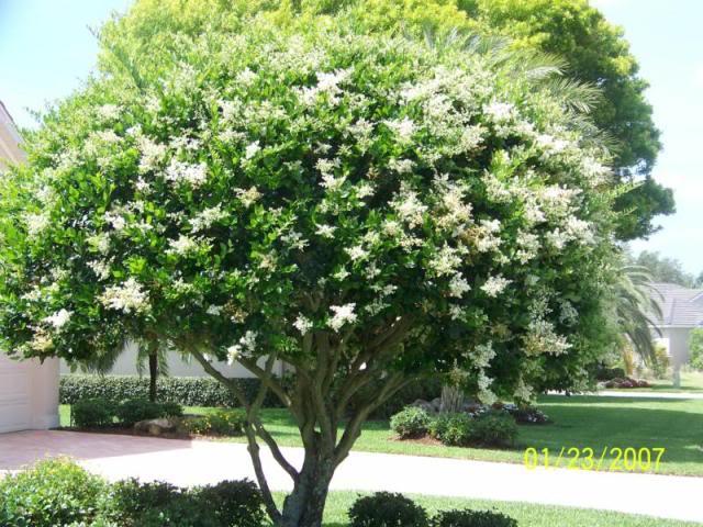 Arbusti da far crescere in altezza alloro buddleja for Ligustro siepe