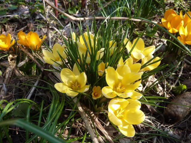 I miei bulbi in fiore a marzo narcisi e crochi per lo pi for Bulbi narcisi