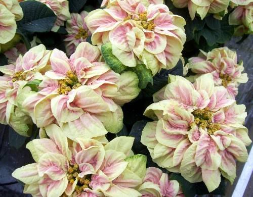 Stella Di Natale Bianca.Stella Di Natale Poinsettia Euphorbia Pulcherrima Nuove Cultivar