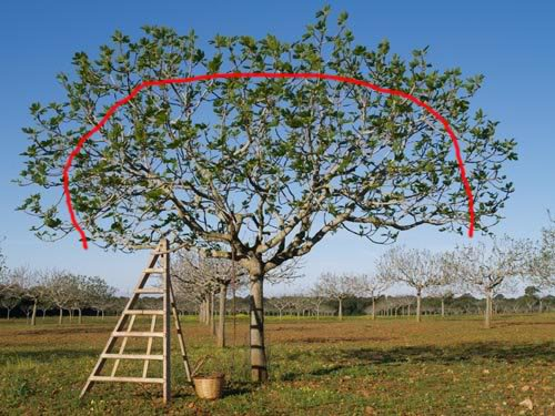 Cimatura potatura fico quando e come potare ficus carica for Quando piantare alberi da frutto