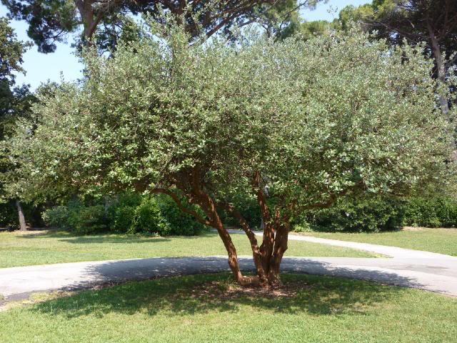 Acca o feijoa sellowiana arbusto o piccolo albero un for Albero per piccolo giardino