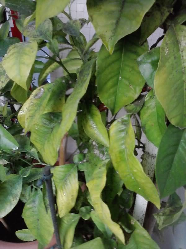 Che cos 39 ha questo limone aloni gialli macchie - Foglie limone nere ...