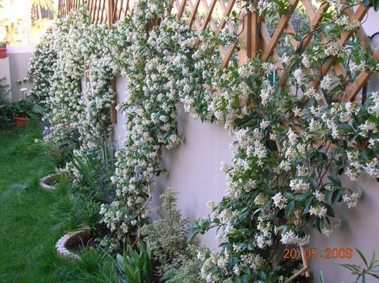 La siepe rampicante sempreverde di hardenbergia violacea e trachelospermum jasminoides sulla - Piante rampicanti da esterno ...