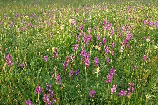 Orchidee - Orchidee da esterno ...
