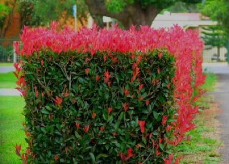 Photinia x fraseri‭ '‬Red Robin‭' ‬