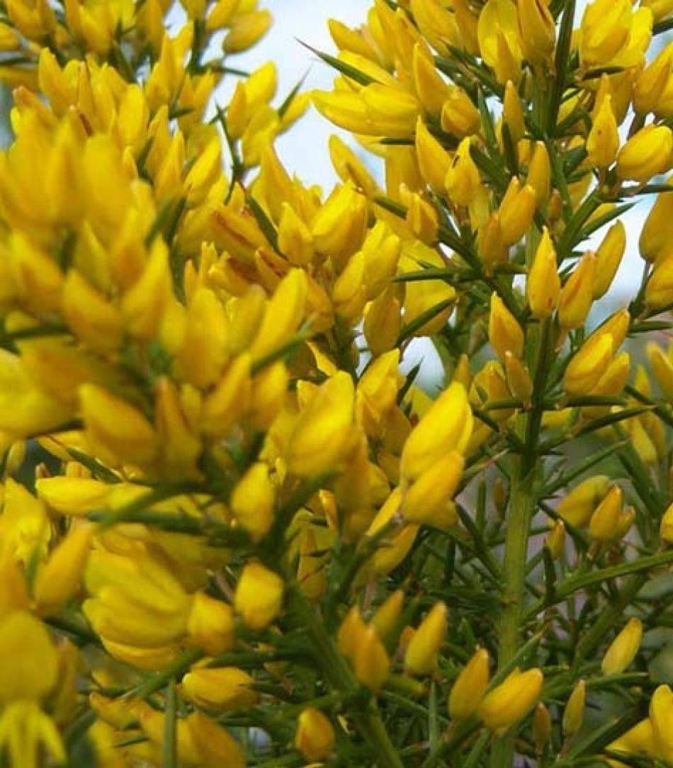 U di... Ulex europaeus o ginestre spinose: arbusto ...