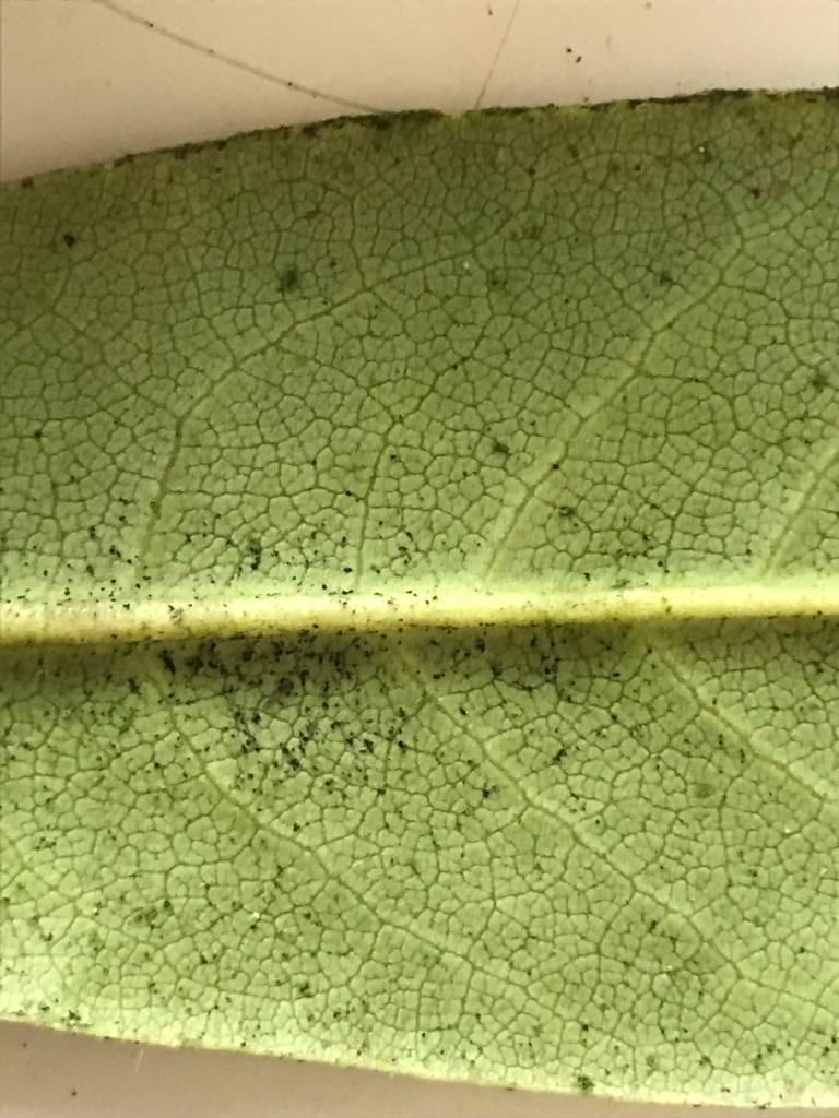 rododendro4.jpeg