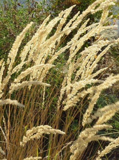 Calamagrostis-x-acutiflora-'Karl-Foerster'_1.jpg