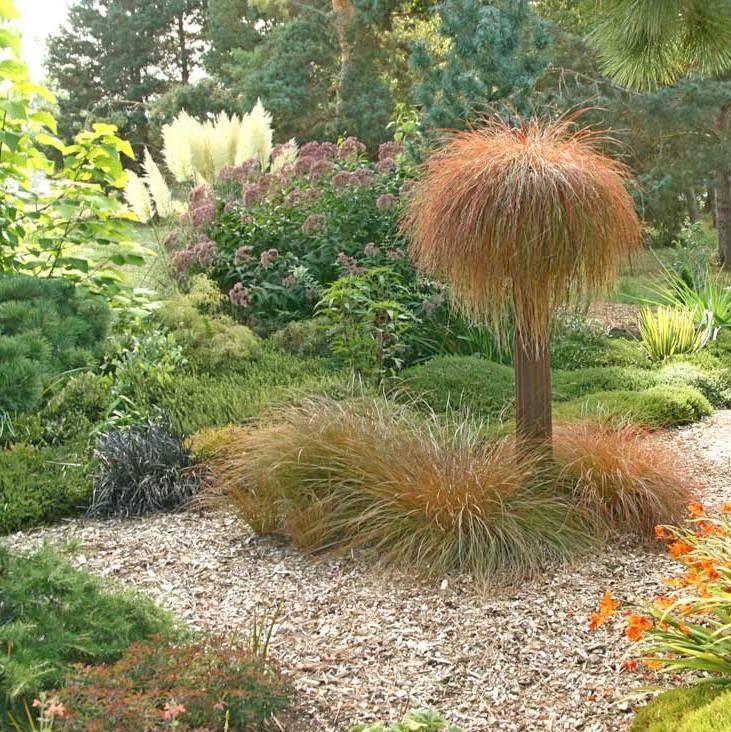 Carex-testacea2.jpg