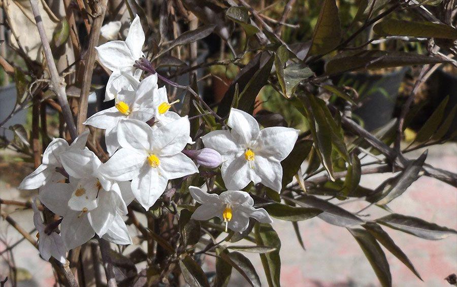 Solanum_foglie_scure.jpg