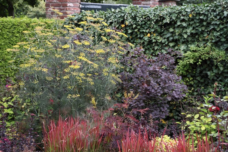 foeniculum-vulgare-purpureum-2.jpg