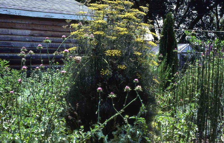 foeniculum-vulgare-purpureum.jpg
