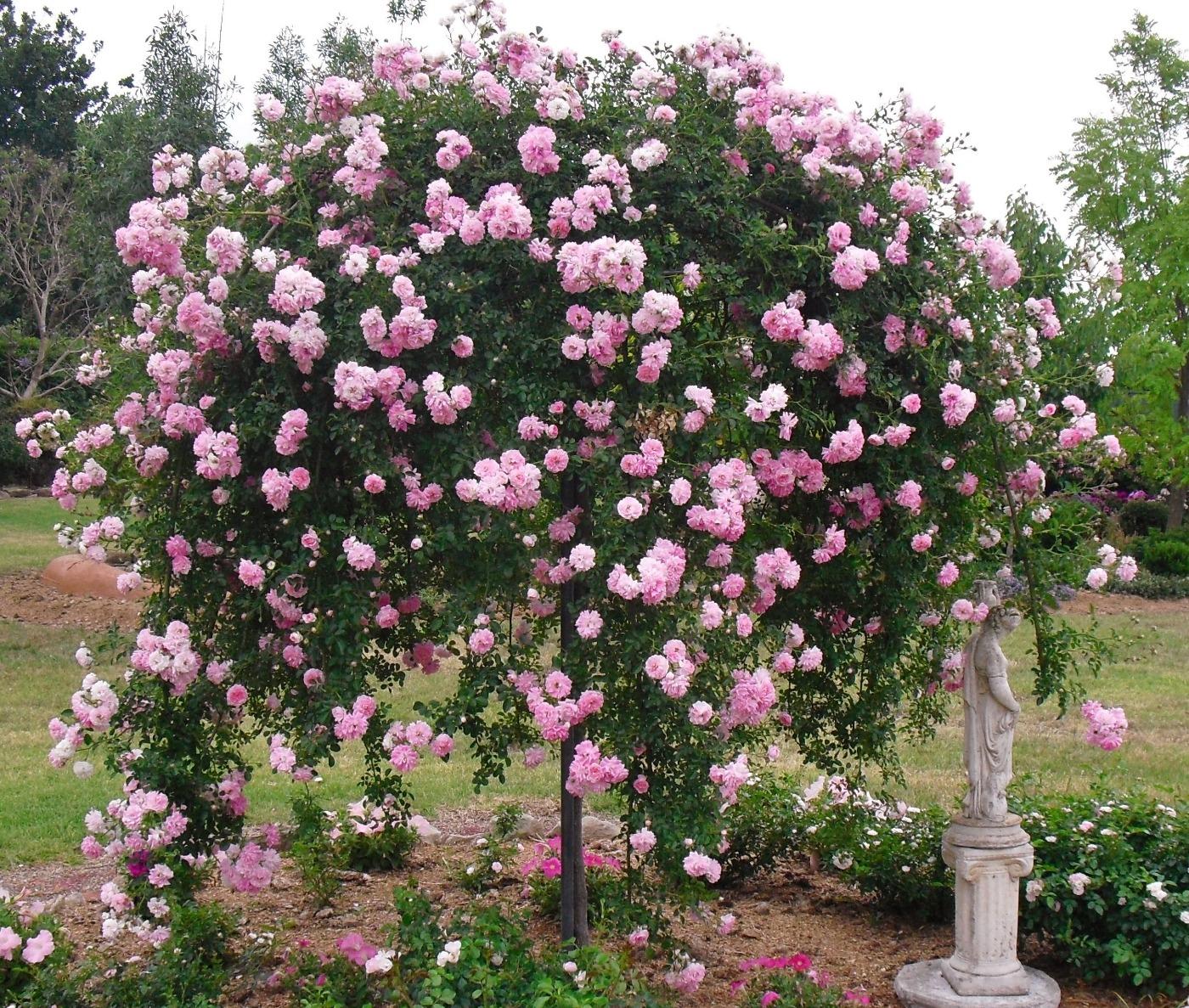 rosa-dorothy-perkins.jpg