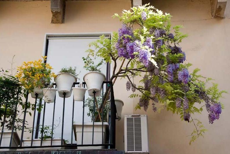 wisteria_albero_glicine.jpg