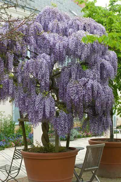 wisteria_albero_glicine_1.jpg