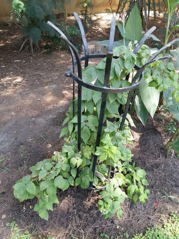 Piante Di Frutti Di Bosco : Coltivazione e quando piantare piante di lamponi ribes